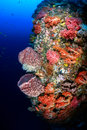 Sponges and corals on a tropical coral reef wall beautiful soft deep colorful underwater Stock Image