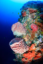 Sponges and soft corals on a tropical reef vivid colorful spones an underwater Stock Photography