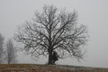 Spooky barn tree in the fog Stock Images