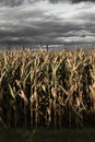 Spooky corn field looking of wilted crops under dramatic thunderstorm clouds Stock Photography