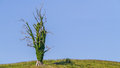 Spooky dead tree on a hill with a clear blue sky an easy blue screen Stock Photo