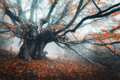Spooky tree in fog. Old magical tree with big branches and orang Royalty Free Stock Photo