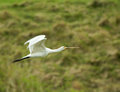 Spoonbill flying first winter in flight Royalty Free Stock Photo