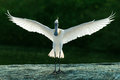 Spoonbill landing-wings stretched Royalty Free Stock Photo
