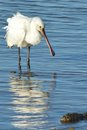 Spoonbill At Poole Harbour