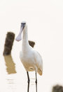Spoonbill the profile of Stock Photo