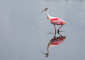 Spoonbill on a stroll the roseate is wading through wetlands in florida Royalty Free Stock Image