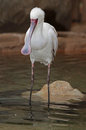 Spoonbill white bird standing in clear water Stock Photo