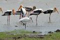 Spoonbilled stork with painted storks single a flock of eurasian spoonbill or common spoonbill platalea leucorodia wading bird Royalty Free Stock Images