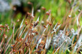 Sporophytes of Haircap moss (Polytrichum spp) Stock Photo