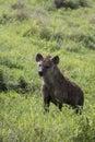 Sported hyaena, Ngorongoro Crater, Tanzania Royalty Free Stock Photo