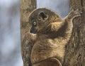 Sportive lemur portrait taken at zombitse vohibasia national park madagascar Royalty Free Stock Photography