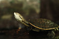 Spot-bellied side-necked turtle Stock Photo