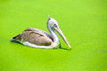 Spot billed pelican closeup in a swamp Royalty Free Stock Photos