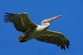 Spot-billed Pelican, Elecanus ...