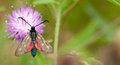 5-spot burnet moth at rest on black knapweed Royalty Free Stock Photo