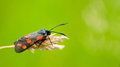 6-spot burnet moth Royalty Free Stock Photo