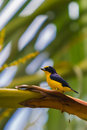 Spot crowned eufonia yellow and blue male on a branch of a palmtree Royalty Free Stock Photography