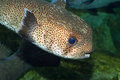 Spot fin porcupinefish diodon hystrix in japan Royalty Free Stock Photography