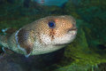 Spot fin porcupinefish diodon hystrix in japan Stock Images