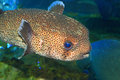 Spot fin porcupinefish diodon hystrix in japan Royalty Free Stock Images