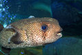 Spot fin porcupinefish diodon hystrix in japan Royalty Free Stock Photo