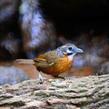 Spot necked babbler beautiful brown bird stachyris striolata standing on the rock thailand Royalty Free Stock Images