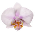 Spoted light pink orchid on white Stock Photography