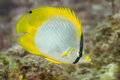 Spotfin butterflyfish in the Bahamas Royalty Free Stock Photo