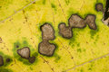 Spots on dead leaf decaying yellow and green in autumn Stock Photo