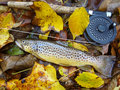 Spotted Autumn Brown Trout Stock Photo