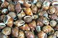 Spotted babylon snail