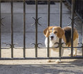 Spotted Beagle dog looking through gate bars. Royalty Free Stock Photo