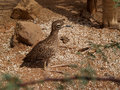 Spotted Bush Thick-Knee Sunning in the Sand. Stock Images