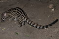 Spotted common genet Royalty Free Stock Photo