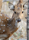 Spotted deer Axis axis Stock Image