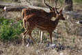 Spotted deer couple of deers walking in the forest Royalty Free Stock Images