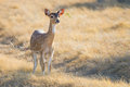 Spotted Deer Doe Royalty Free Stock Photo