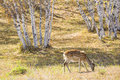 A spotted deer eat grass in the silver birch forest Royalty Free Stock Photography