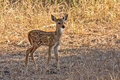 Spotted deer fawn Royalty Free Stock Photo