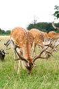 Spotted deer grazing Royalty Free Stock Images