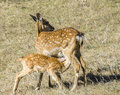 Spotted deer mother and her baby on the grassland Royalty Free Stock Photo