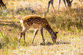 Spotted deers are eating grass on the grassland Royalty Free Stock Images