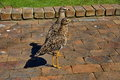 Spotted Dikkop, South Africa Stock Photo