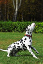Spotted dog Dalmatian walks with the Park, engaged in training Royalty Free Stock Photo