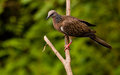 Spotted Dove. Stock Images