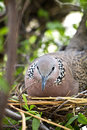Spotted dove is brooding in a garden bird bush Stock Photography