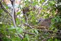 Spotted dove is brooding in a garden bird bush Royalty Free Stock Photo