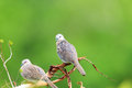 Spotted dove spilopelia chinensis in sri lanka Stock Images