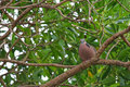 A spotted dove spotted turtle dove pigeon sitting on a branch with black and white spots collar of caribbean trumpet tree Royalty Free Stock Images